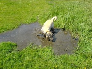 Sandie diving in to a muddy pddle