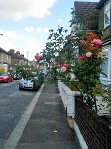 Rose bush in a front garden with one branch extending across the entire footpath